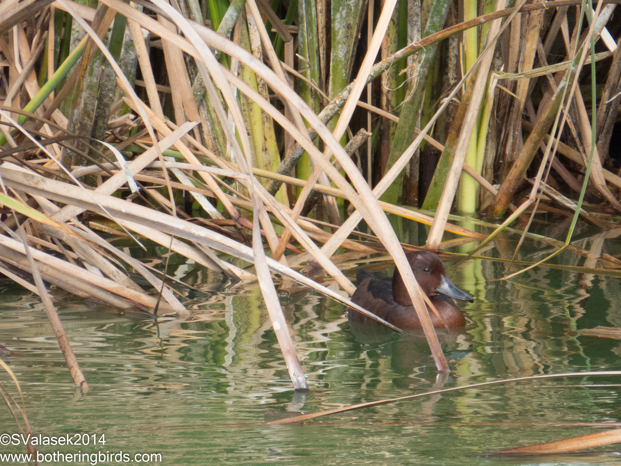 Ferruginous Duck