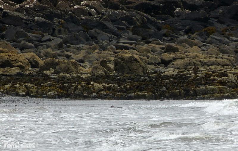 P1090355 - Otter, Isle of Mull