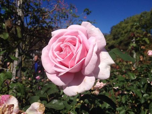 Hybrid Tea Rose 'Frédéric Mistral'