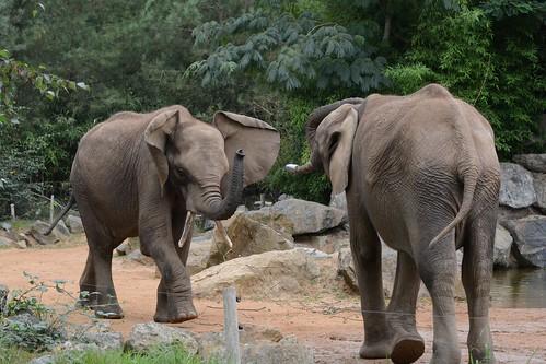 Afrikanische Elefanten Boten und Bou Bou im Zoo de La Flèche