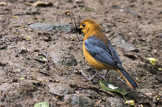 South Africa: Red-capped Robin-Chat