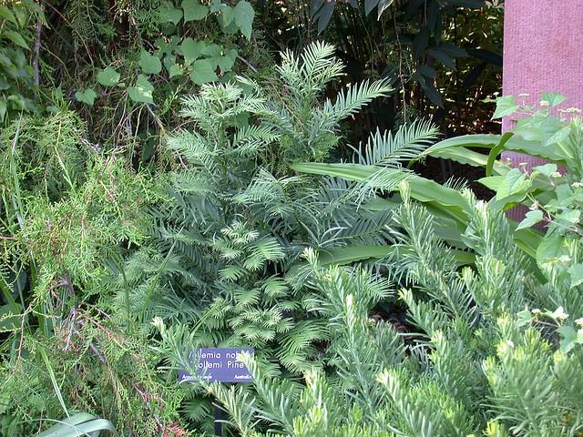 Wollemi pine (Wollemi nobilis)