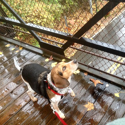 Oblivious beagle