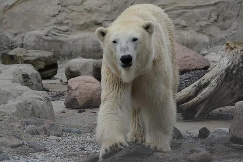 Eisbärin Valeska im Zoo am Meer