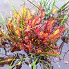 Found carnivorous sundews in the Alakai Swamp!! @jenoreynolds #Hawaii