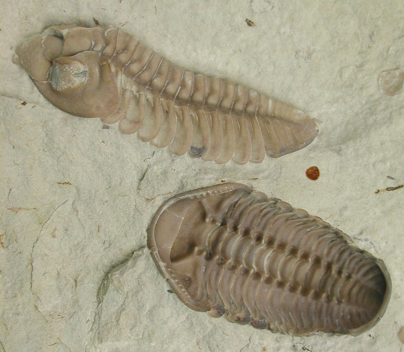 Trilobites, the first discovered Cambrian fossils