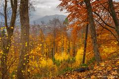 Alsatian Forest