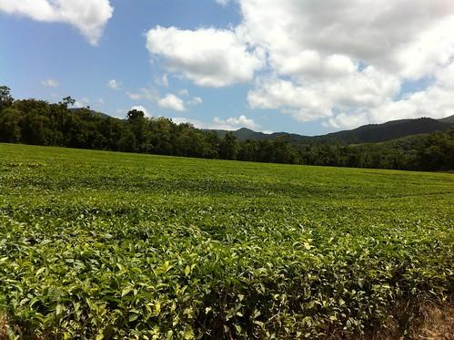 Daintree Tea