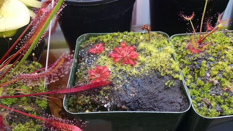 Drosera ultramafica x spatulata plantlets