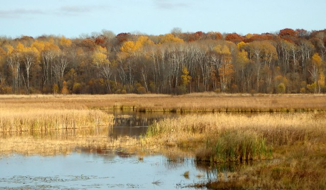 cattails in a swamp, with yellow popples and brown oaks behind
