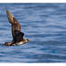 When Arctic Skua flew closer to the boat by shivanayak