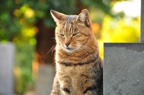 Cat in Yanaka Cemetery  Park