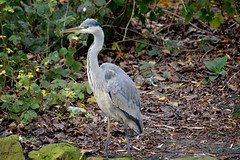 Finally up close with a Heron, and what a handsome chap he is