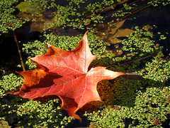 fallen leaf on duckweed