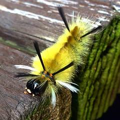 American Dagger Moth Caterpillar, Acronicta americana - #nature #ohio #forest #caterpillars #moths #americana #insects #animals #wilderness