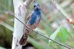 Blue Grosbeak, Florida Canyon, AZ, 7/18/2014