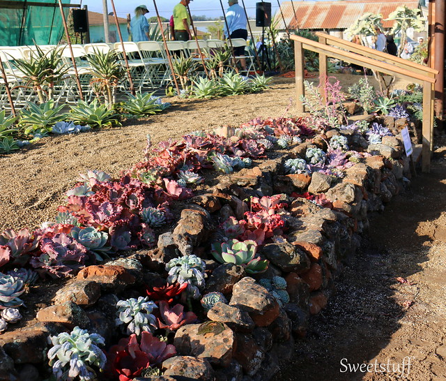 ECHEVERIA EXTRAVAGANZA BY BELL & FLOURISH WITH ROSS LANDSCAPE CONSTRUCTION 6