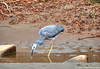 White faced heron drink