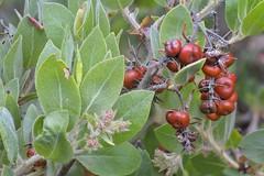 shrub(0.0), berry(0.0), arctostaphylos uva-ursi(0.0), huckleberry(0.0), produce(0.0), food(0.0), hawthorn(0.0), evergreen(1.0), flower(1.0), malpighia(1.0), tree(1.0), plant(1.0), flora(1.0), chokeberry(1.0), fruit(1.0),