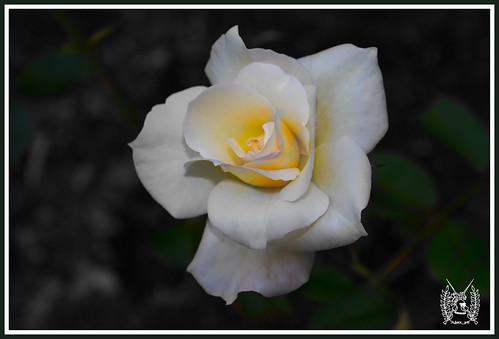 IMG_0295_Rosa Bi-color