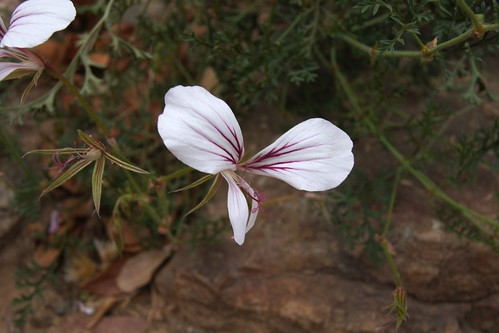 P. myrrhifolium var. coriandrifolium