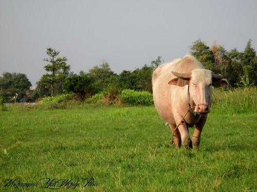 white grass animal buffalo cattle albino