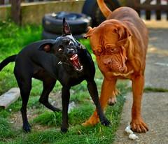 puppy(0.0), dog breed(1.0), animal(1.0), dog(1.0), dogue de bordeaux(1.0), pet(1.0), mammal(1.0), guard dog(1.0),