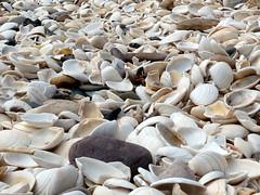 pleurotus eryngii(0.0), oyster mushroom(0.0), food(0.0), pebble(0.0), conch(0.0), petal(0.0), sea snail(1.0), clam(1.0), invertebrate(1.0), seashell(1.0), cockle(1.0), clams, oysters, mussels and scallops(1.0),