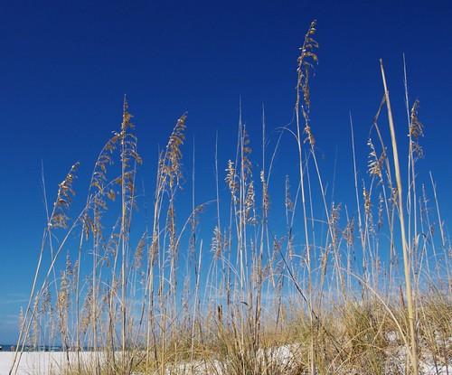 florida stpete seaoats stpetebeach uniolapaniculota stpeterbeachflorida seaoatsstpetebeach