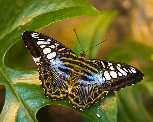 Clipper Parthenos Sylvia Blue