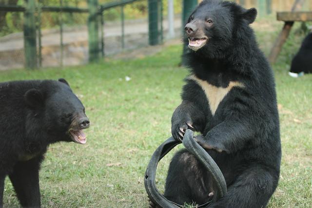 Mondbär Bradley im Animals Asia's ...