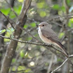 Gobe-mouche gris sur une branche