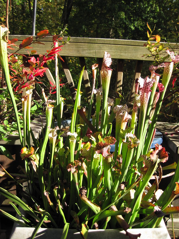Pitcher Plants in a container garden