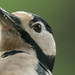 Great spotted woodpecker 📷 Buntspecht (Dendrocopos major) Portrait № 3 by peter vogel.troll