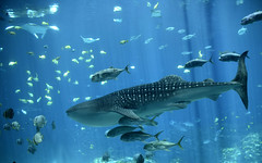 Whale Shark with Escort