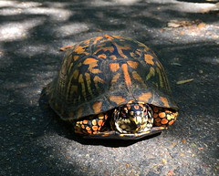 Box Turtle on the MVT