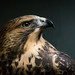 Swainson's Hawk by Jon David Nelson