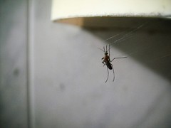 Mosquito caught in a spider web