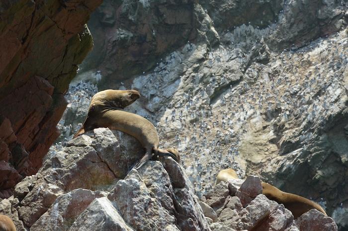leones marinos Islas Ballestas