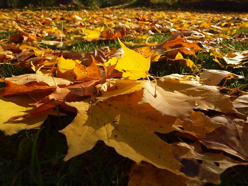 Dog Eating Maple Leaves
