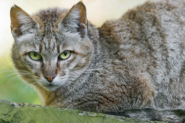Wild cat on platform