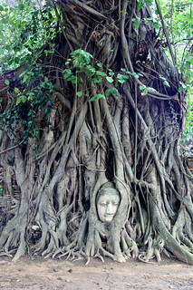 Image of Buddha Head in Tree Roots. world tree heritage history forest thailand temple ruins buddha buddhist roots kingdom unesco thai siam tombraider thailande 2014 françoisphilipp