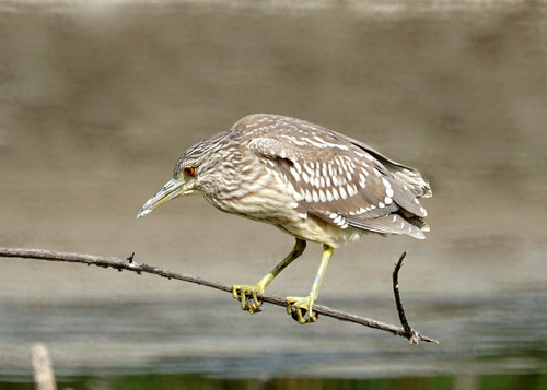 Black-crowned night heron (juvenile)