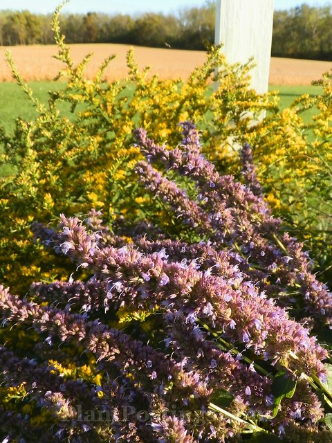 Godenrod and Hyssop