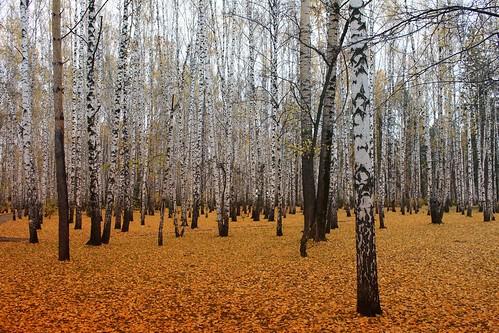 herbst birch tomsk birken birkenwald