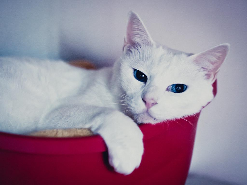青い目のねこ
