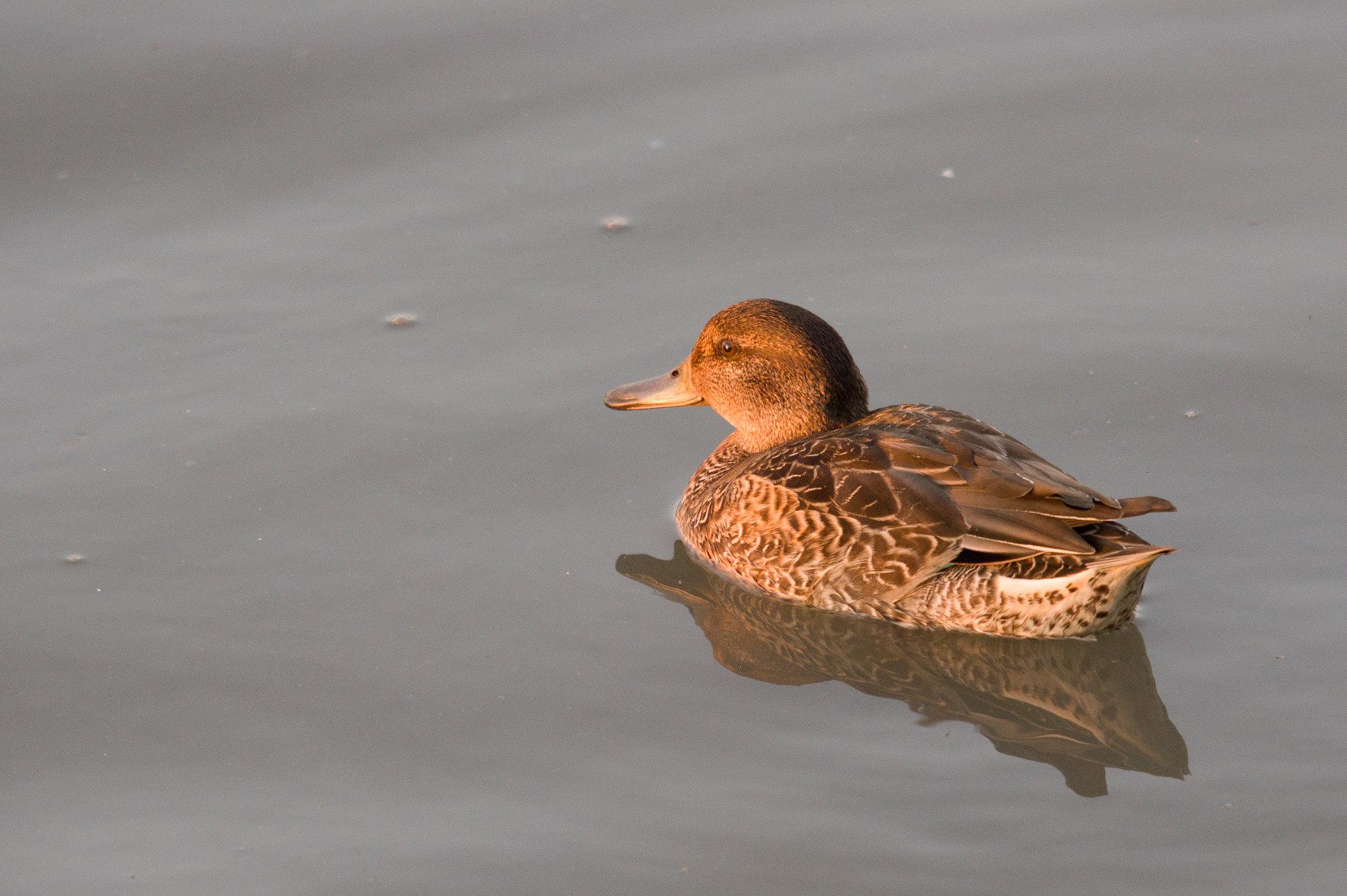 金黃小水鴨
