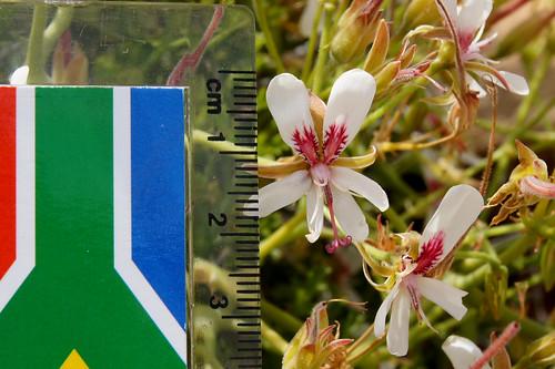 P. crithmifolium