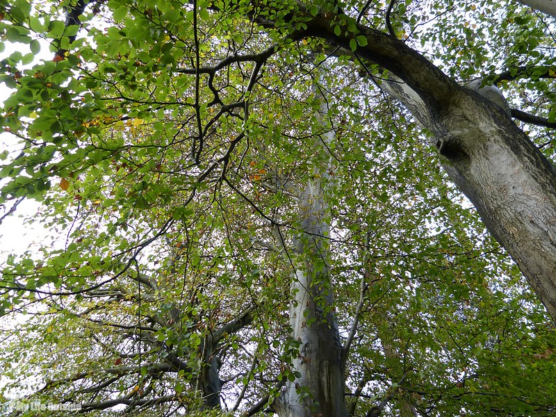 P1090899 - Local Beech Trees