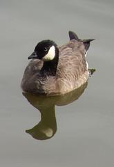 Cackling Goose (B. h. minima) @ Virginia Lake, Reno, NV